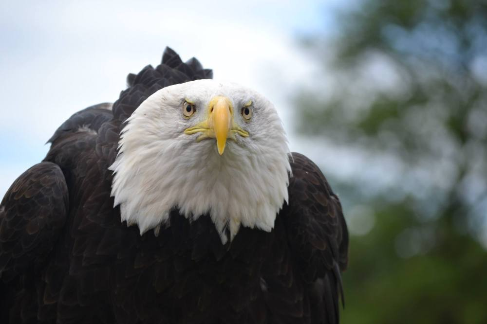 Bald Eagle - Safari Park August 2015